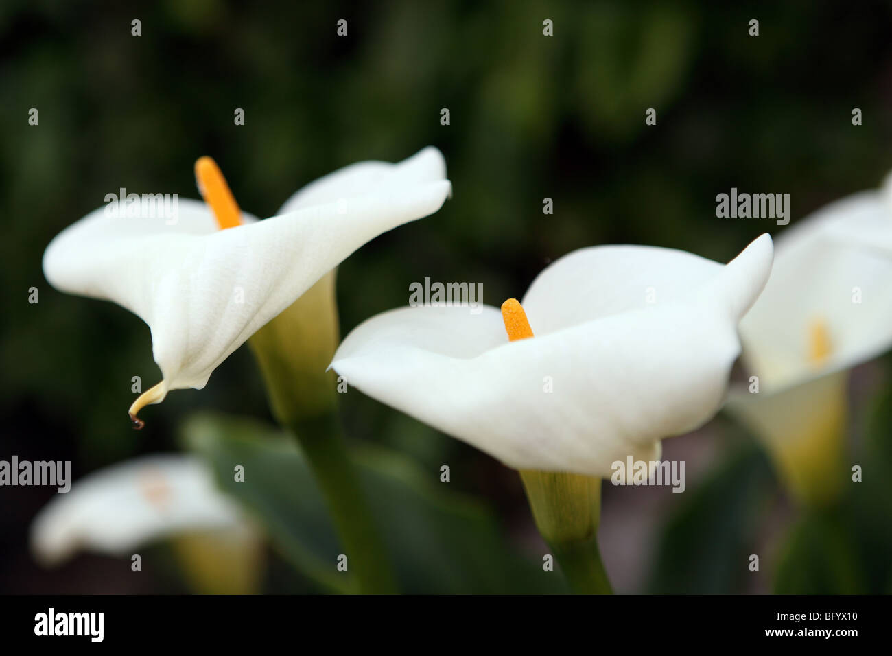 Weiße Lilien in einem Garten in Wales im Sommer Stockbild