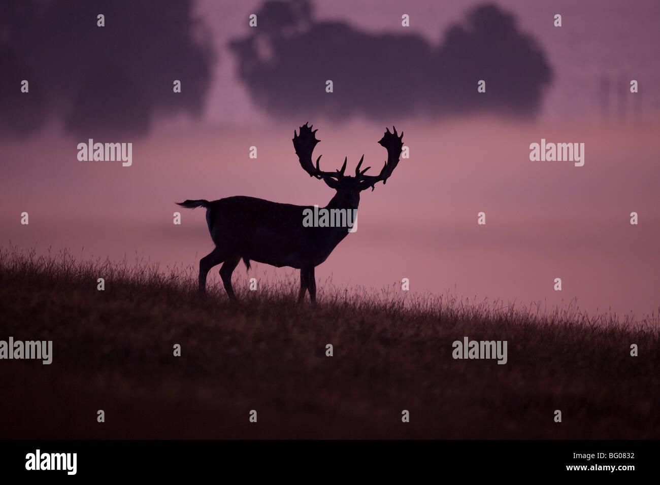 Damhirsch (Dama Dama), Hirsch vor dem nebligen Hintergrund. Stockbild