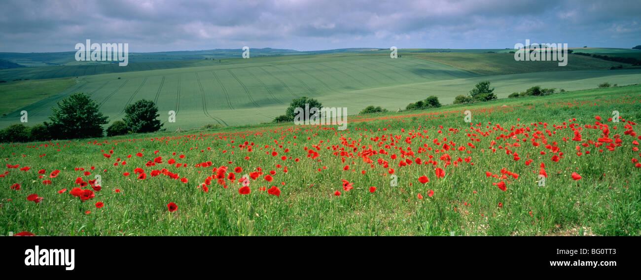 Mohnblumen im Juni, The South Downs in der Nähe von Brighton, Sussex, England, Vereinigtes Königreich, Stockbild