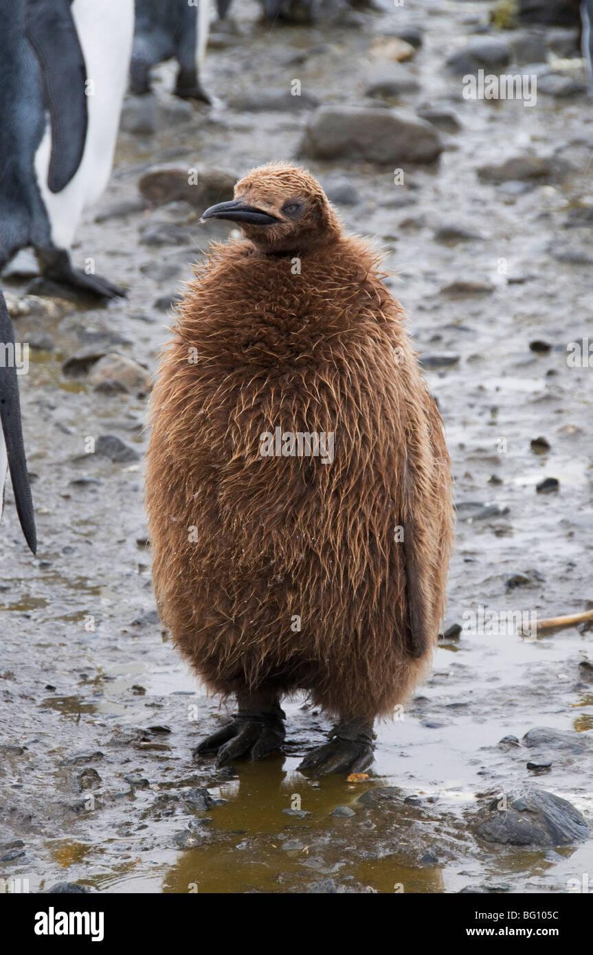 König Pinguin Küken, Salisbury Plain, Südgeorgien, Süd-Atlantik Stockbild