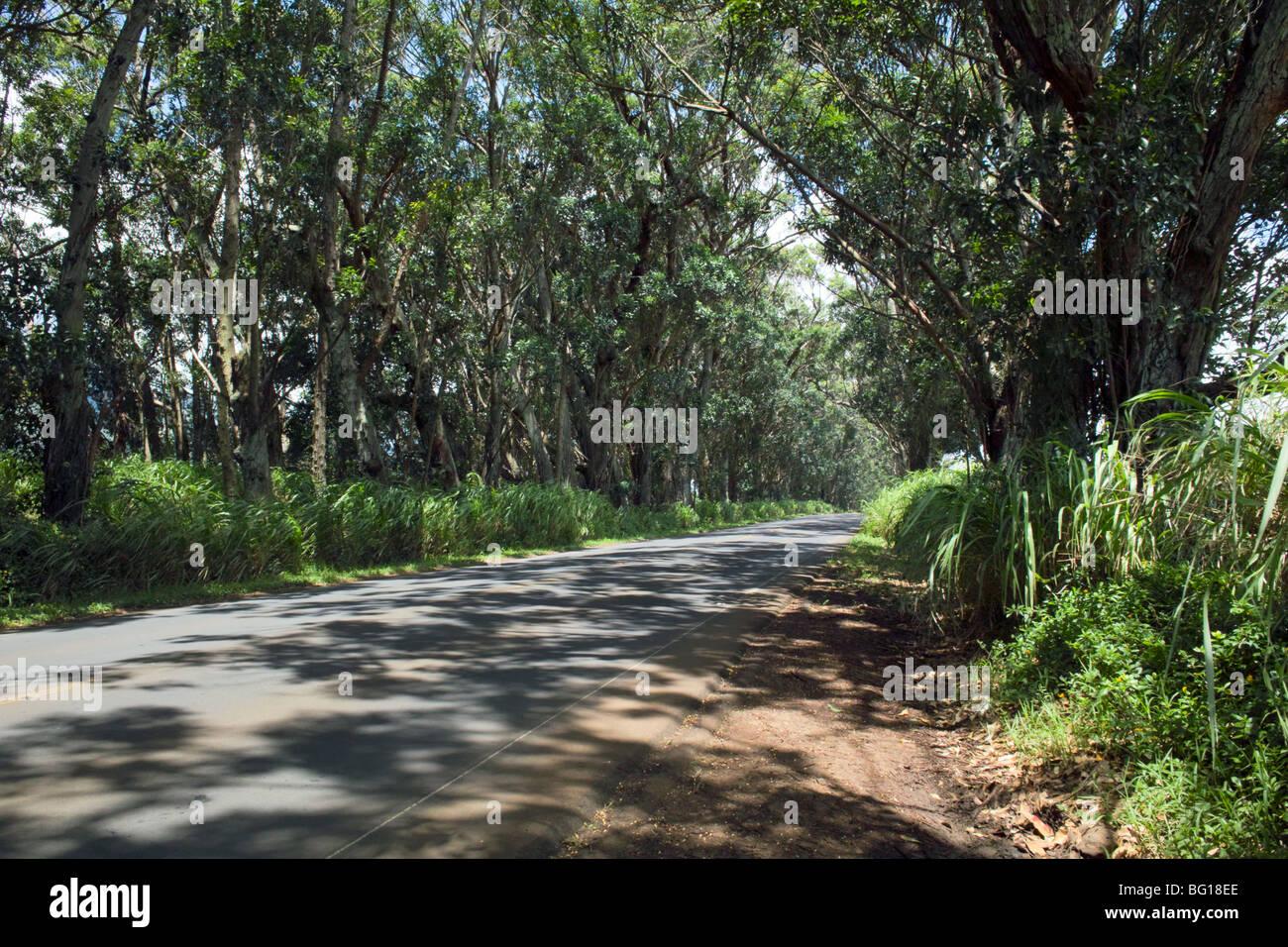 Mahagonibäume  Baum-Tunnel der Sumpf Mahagoni Bäume Knudsen Lücke Kauai HI ...