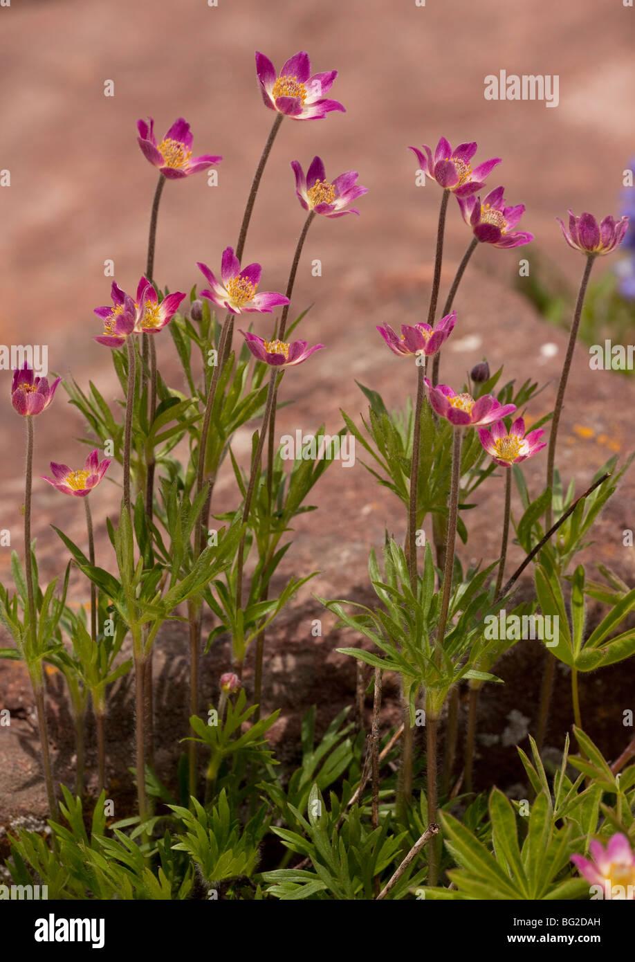 Red Anemone Windflower Stockfotos & Red Anemone Windflower Bilder ...