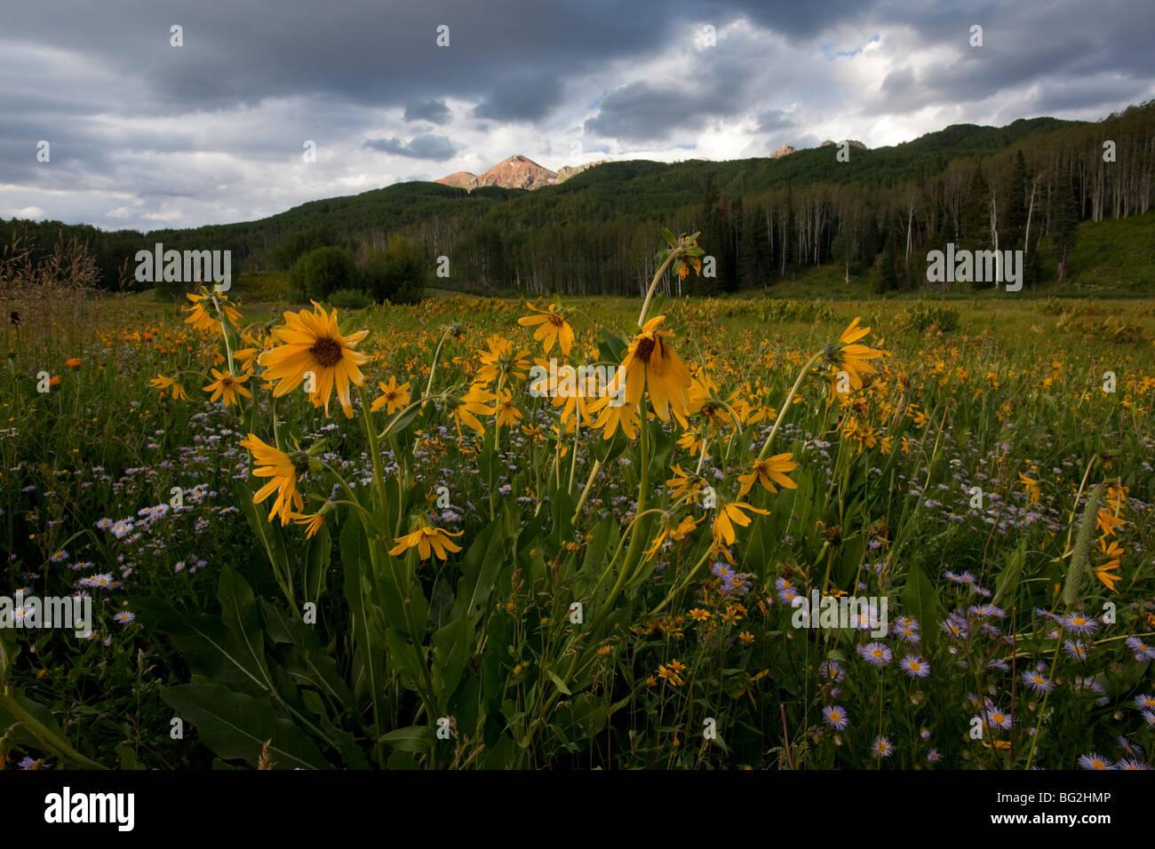 Orange Sneezeweed, Eule-Krallen Hymenoxys Hoopesii = Dugaldia auf Kebler Pass in der Nähe von Crested Butte, Stockbild