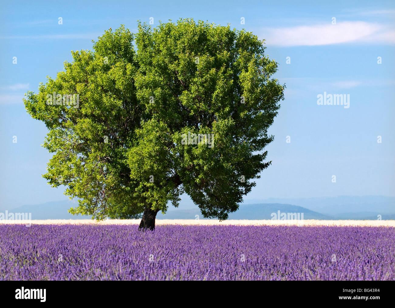 Baum in einem Lavendelfeld Plateau von Valensole, Provence, Frankreich Stockbild