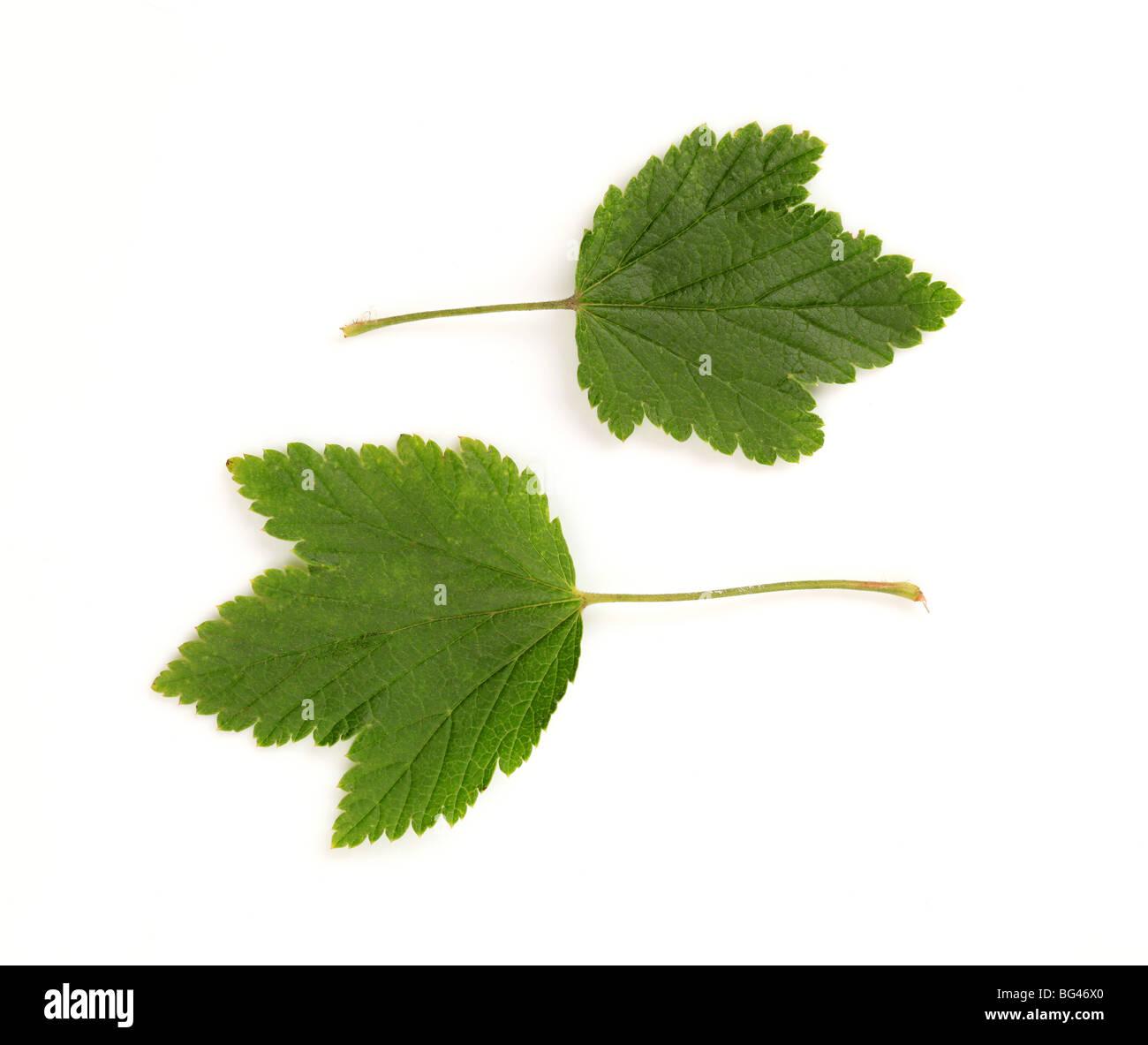 Zwei grüne Blätter auf weißem Hintergrund Stockbild