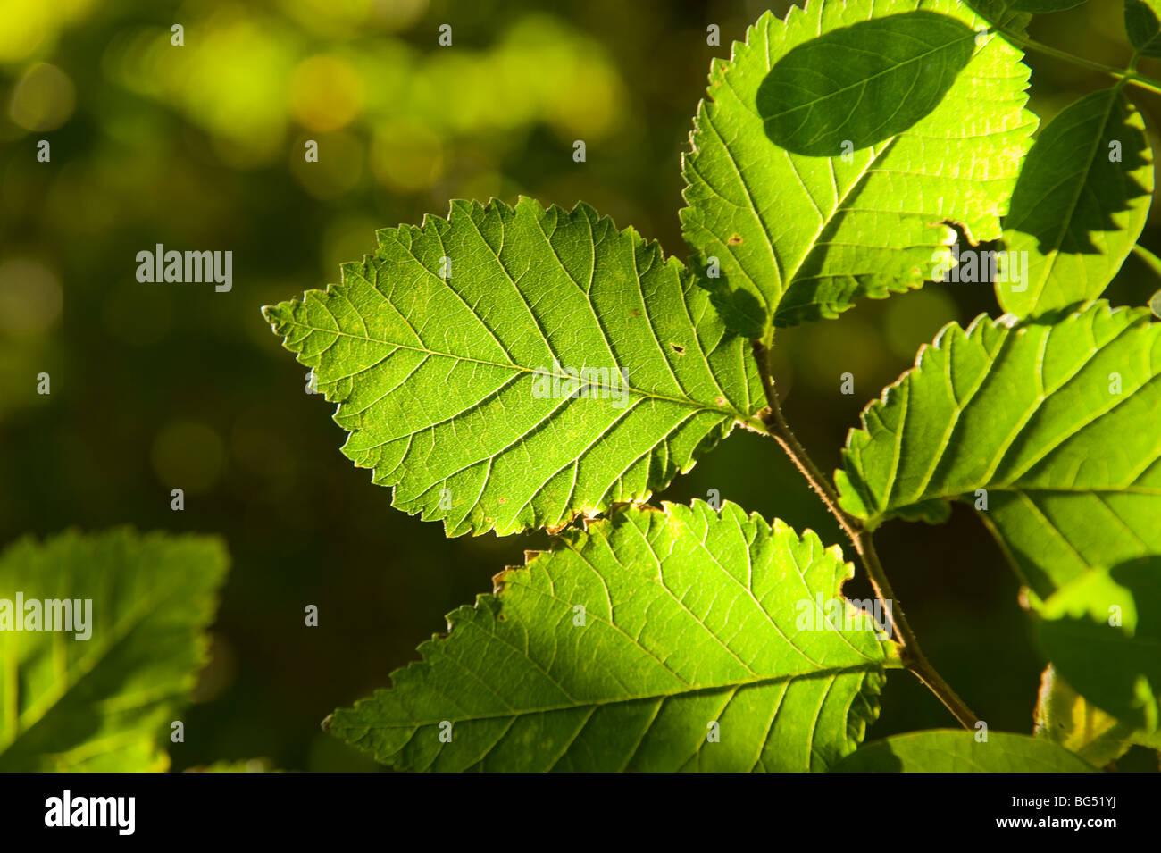 Beleuchtete grüne Blätter Stockbild