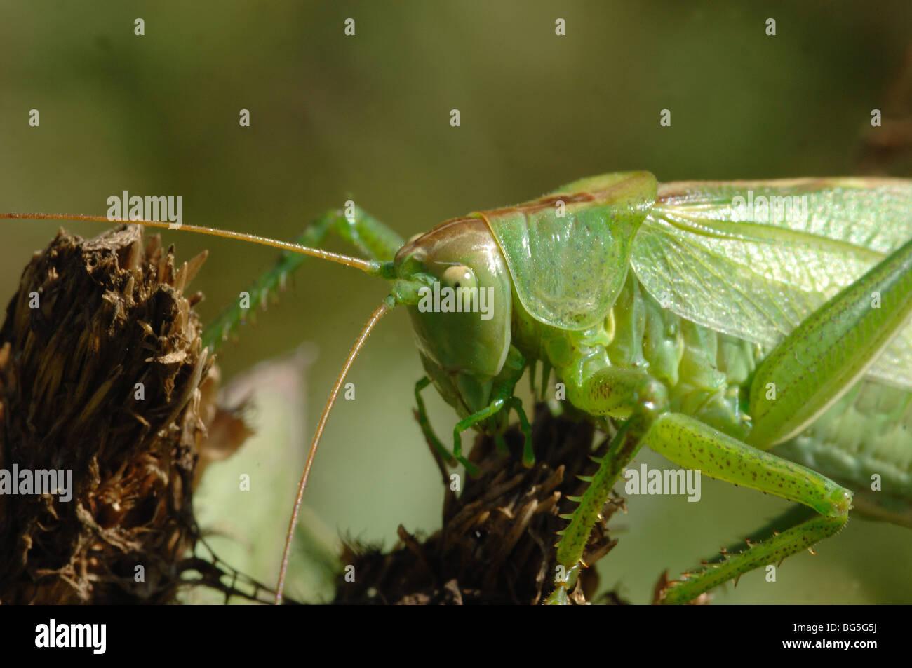 Große grüne Bush Cricket - Tettigonia Viridissima im Nationalpark Mala Fatra Slowakei Stockbild