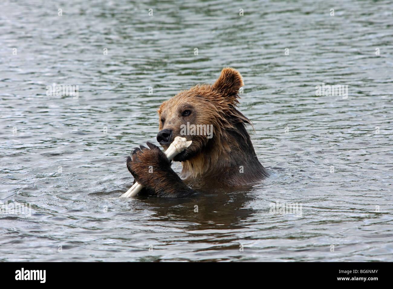 Europäischer Braunbär (Ursus Arctos) essen Tierknochen im Wasser des Sees, Scandinavia Stockbild