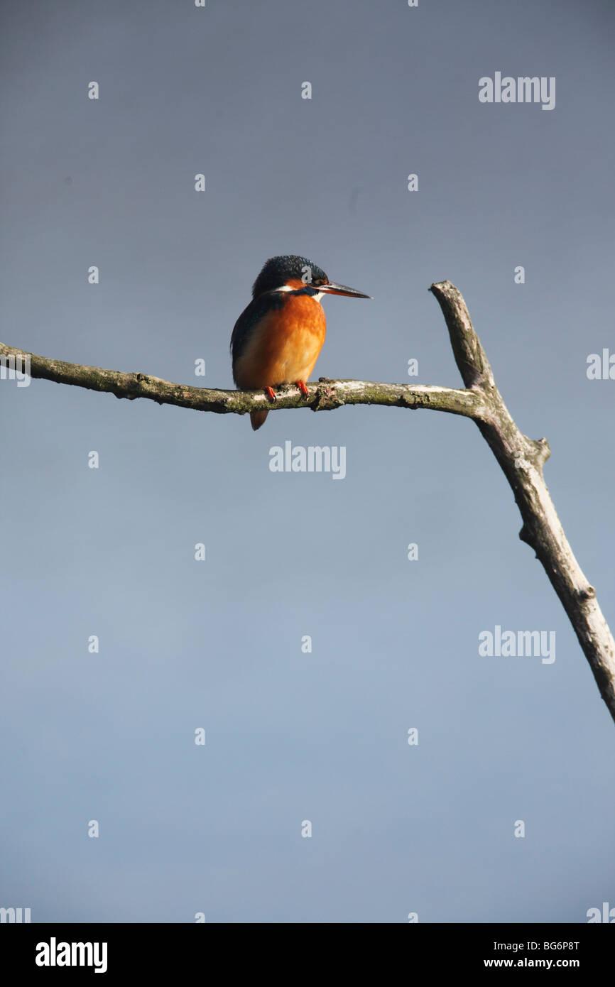 Eisvogel (Alcedo Atthis) männlich hocken auf Ast Stockbild