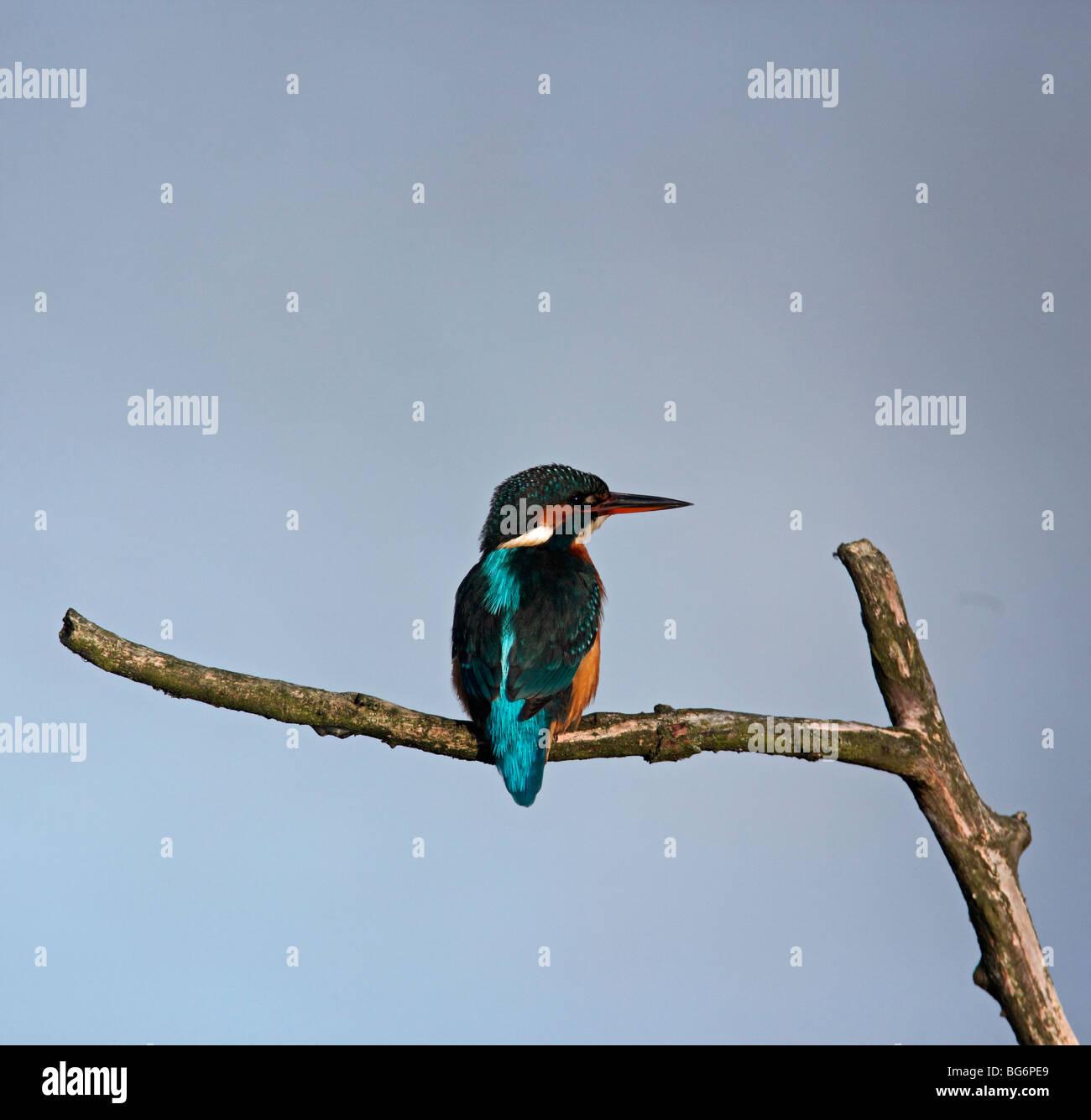Eisvogel (Alcedo Atthis) Weibchen hocken auf Ast Stockbild