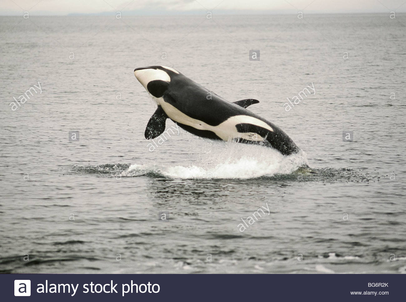 Orca Killer Whale Jumping Water Stockfotos & Orca Killer Whale ...