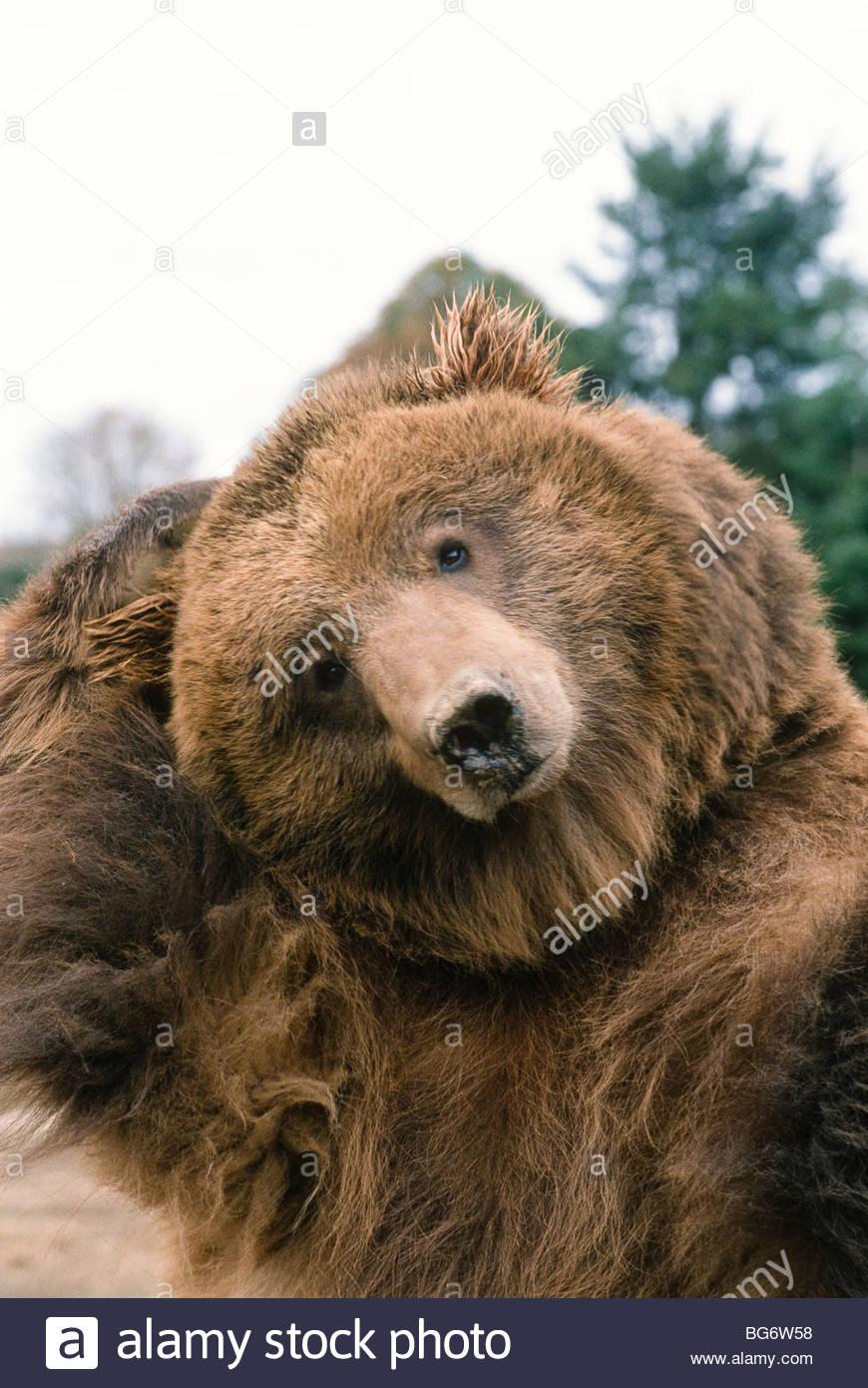 Großer Schwarzer Grizzly
