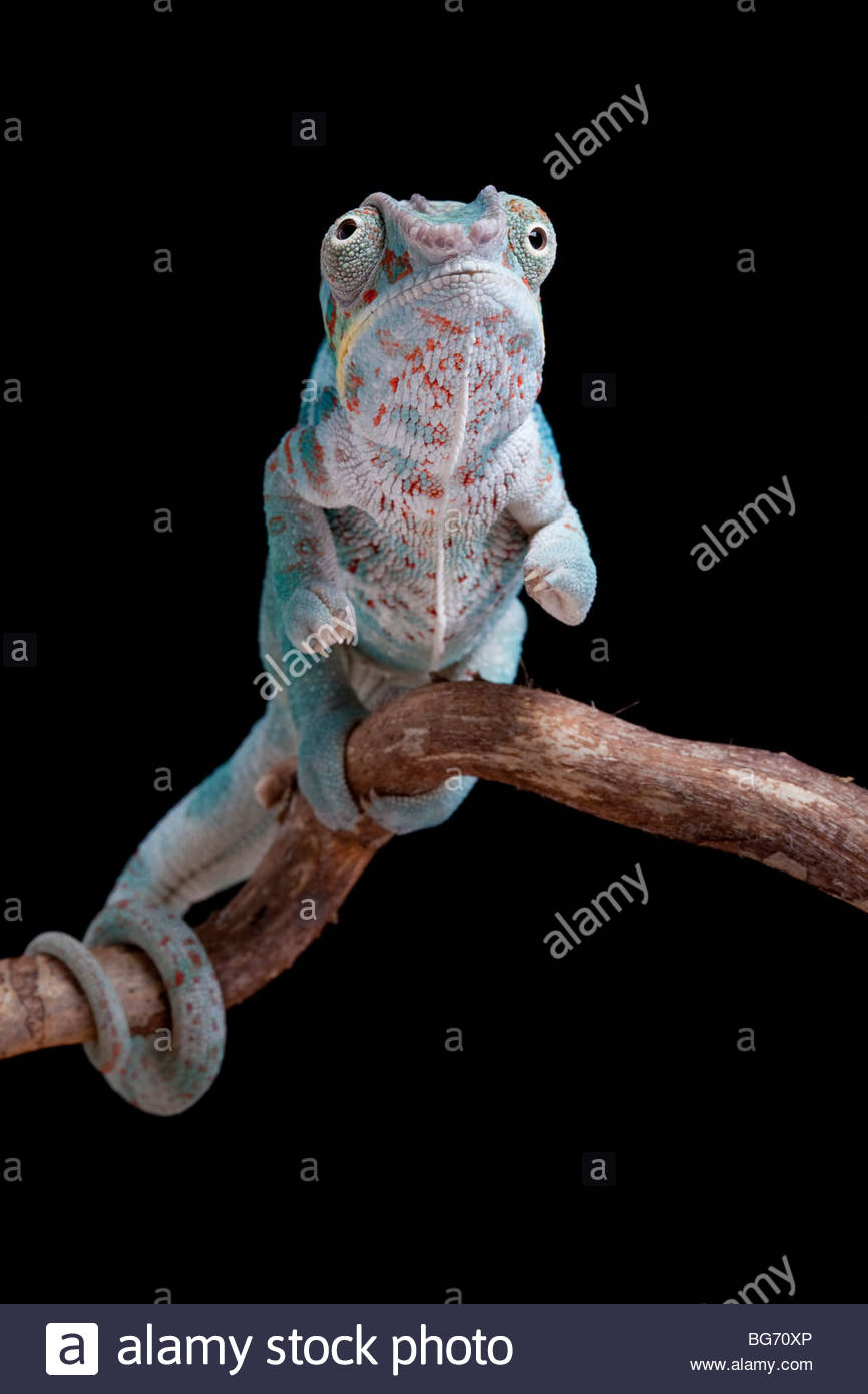 Panther Chamäleon, Furcifer pardalis, Nosy Faly, Madagaskar Stockbild