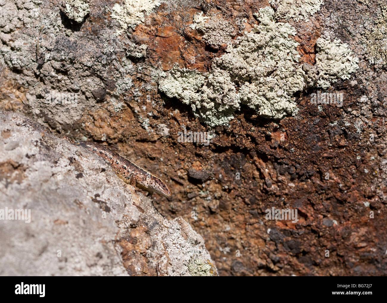 Viviparous Eidechse ( zootoca vivipara oder Lacerta vivipara ) versteckt auf Steinbruch , Finnland Stockfoto