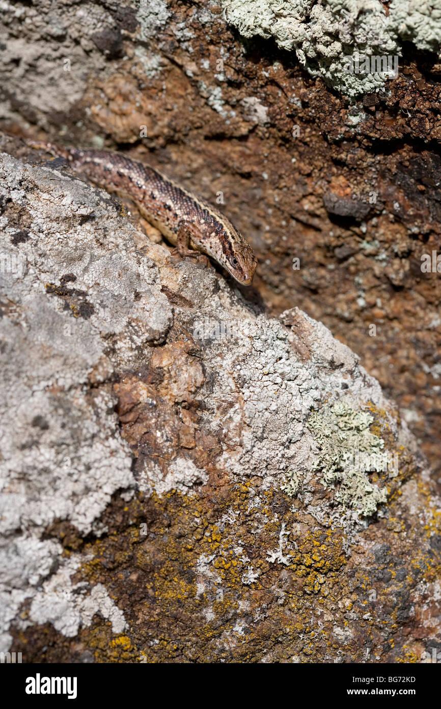 Viviparous Eidechse ( zootoca vivipara ) versteckt auf Steinbruch , Finnland Stockfoto