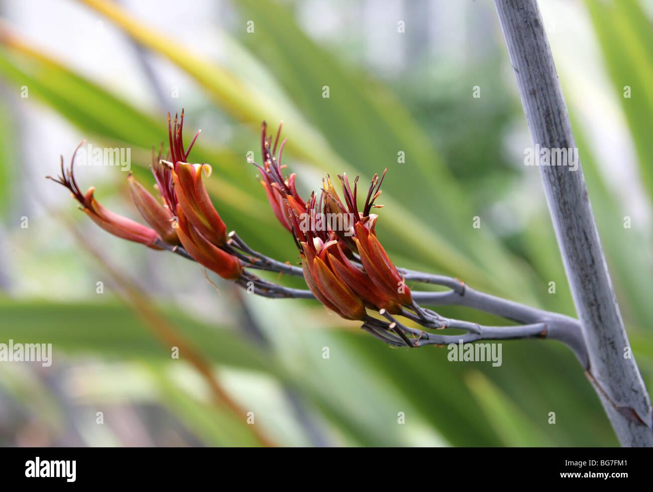 Neuseeland-Flachs, Phormium Tenax, Hemerocallidaceae, Agavaceae. Stockfoto