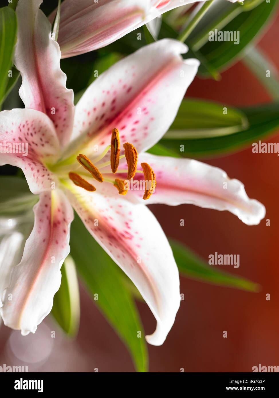 Lily hautnah Stockbild