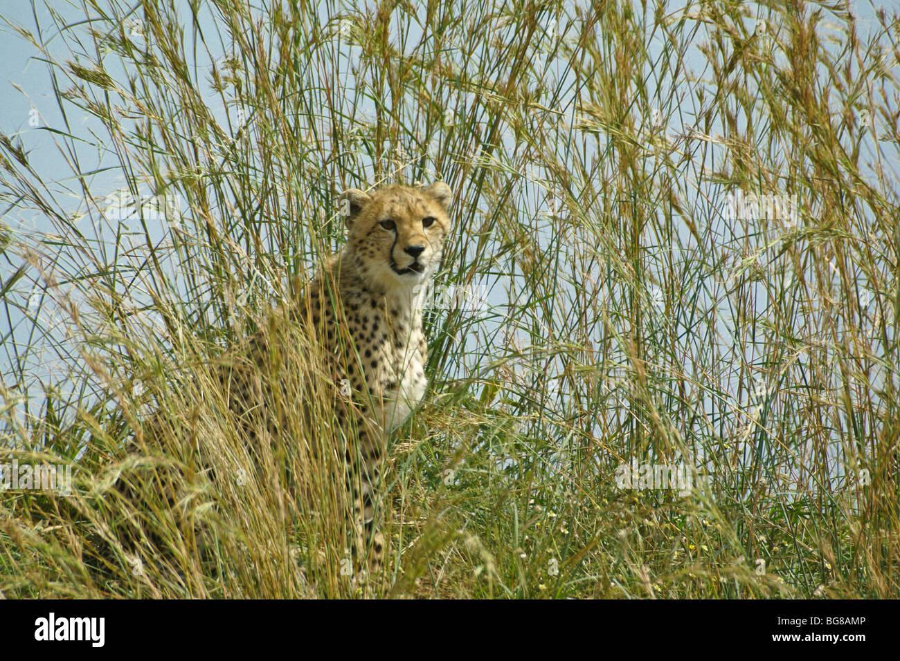 Gepard Cub in langen Rasen, Masai Mara, Kenia Stockbild