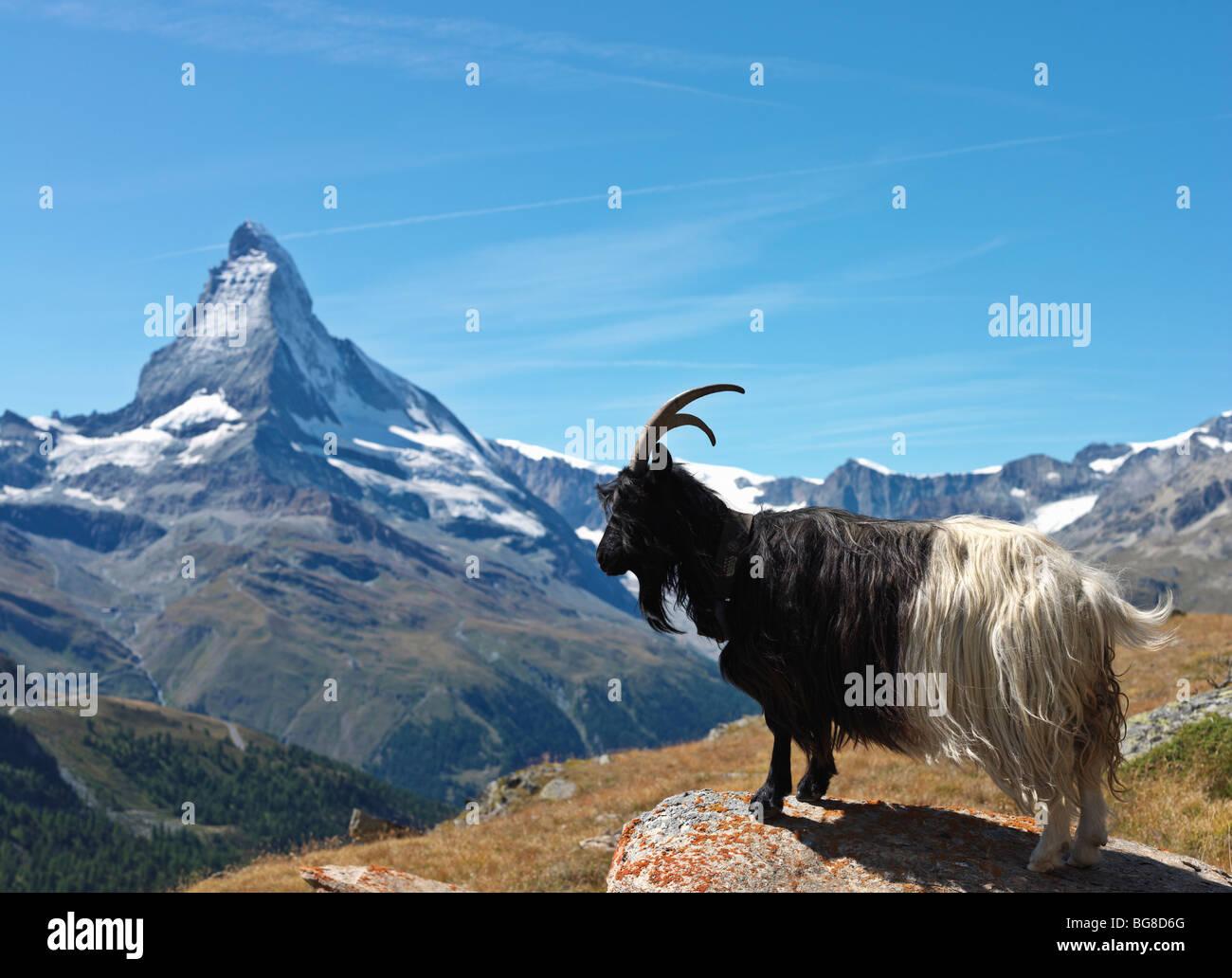 Schweiz, Wallis, Zermatt, Bergziege mit dem Matterhorn im Hintergrund Stockbild