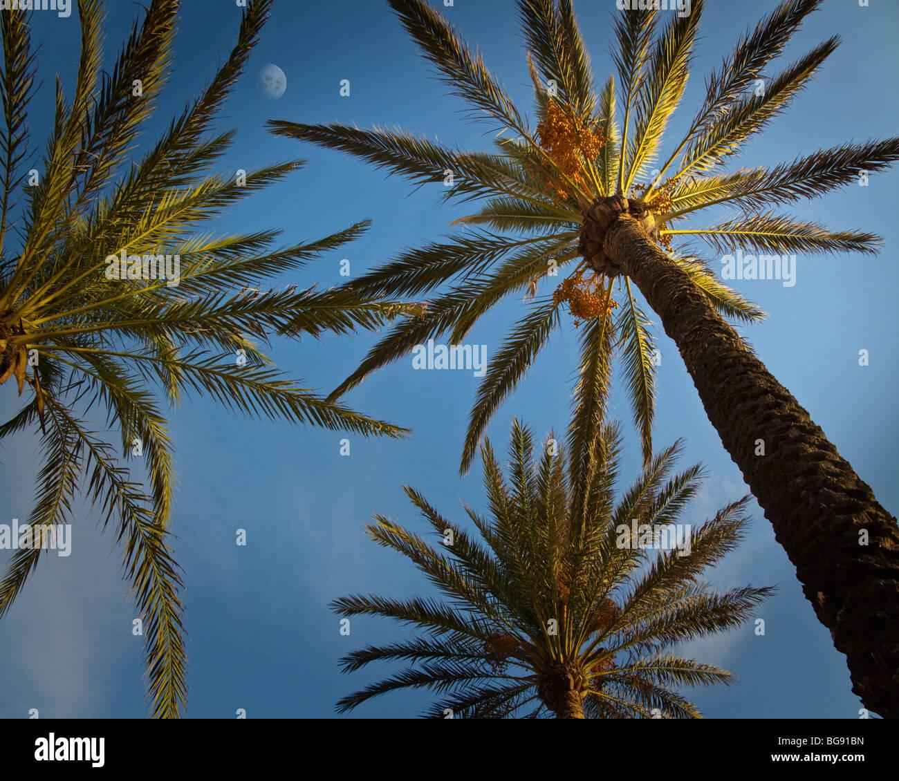 ES - MALLORCA: Palmen am Strand entlang, an der Playa de Palma Stockbild