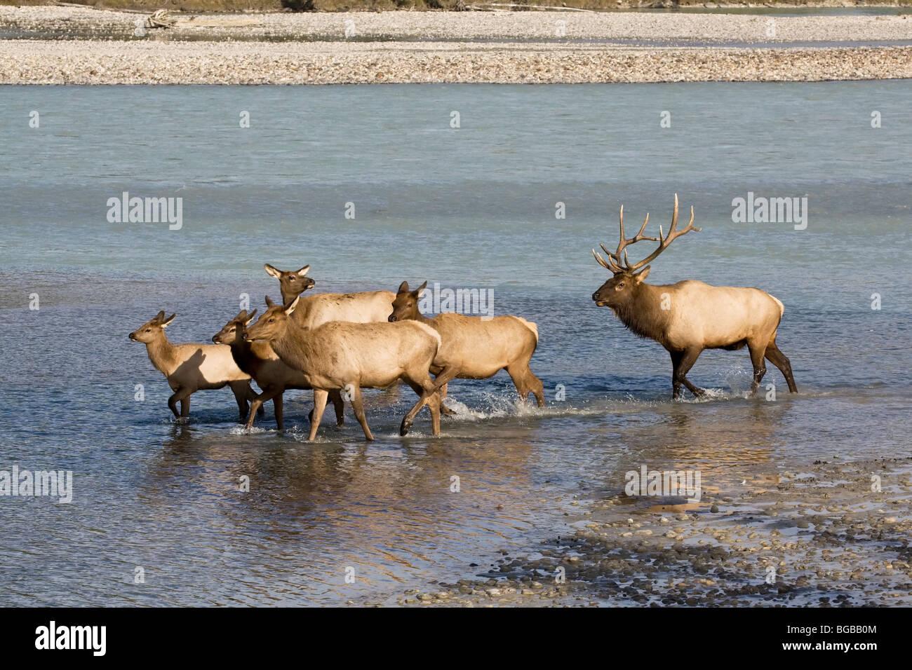 Ein Stier Elch Aufrunden einer Gruppe von weiblichen und Jährling fallen Elch während der jährlichen Stockbild