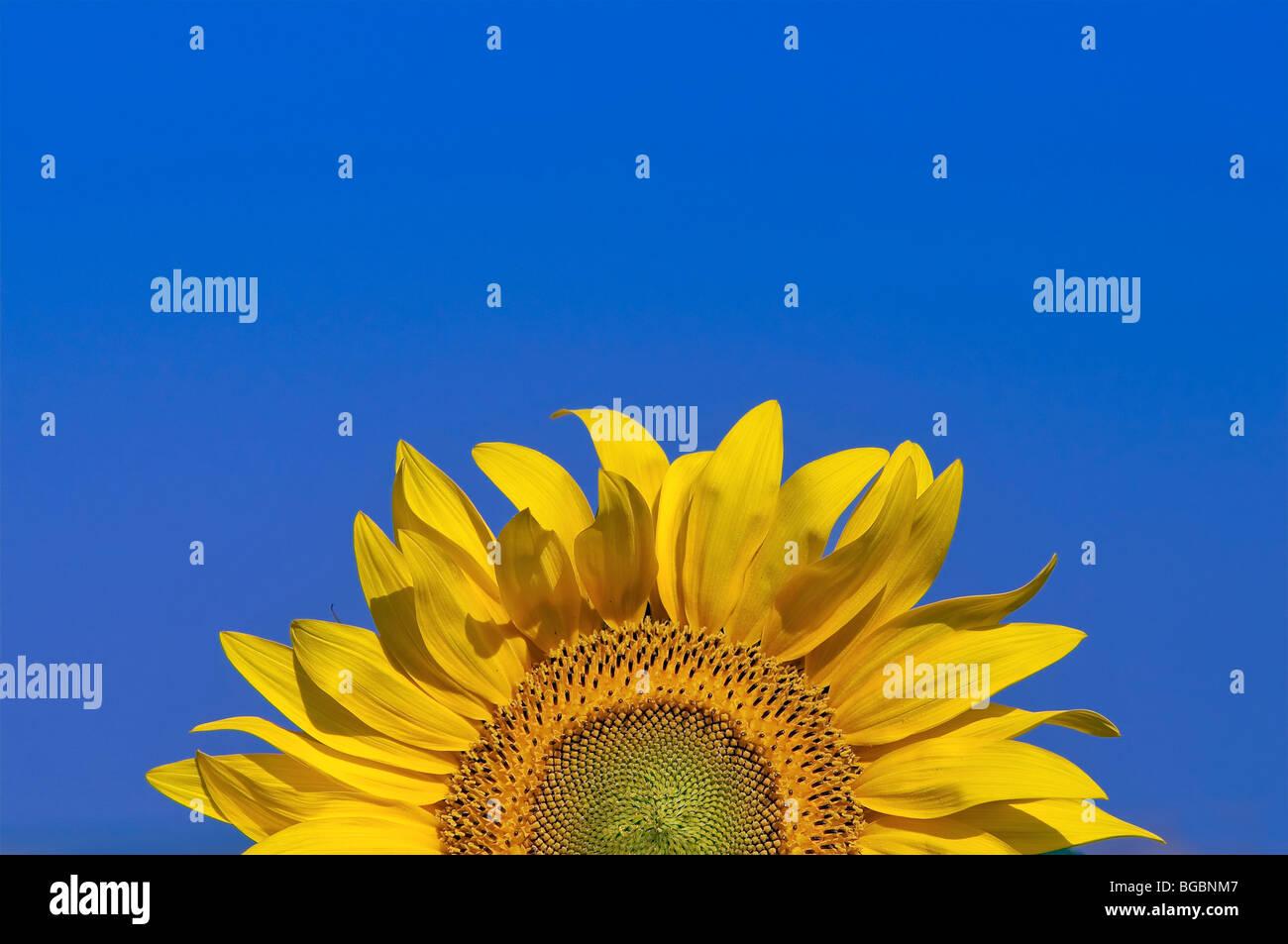 Sun Flower und blauer Himmel Stockbild