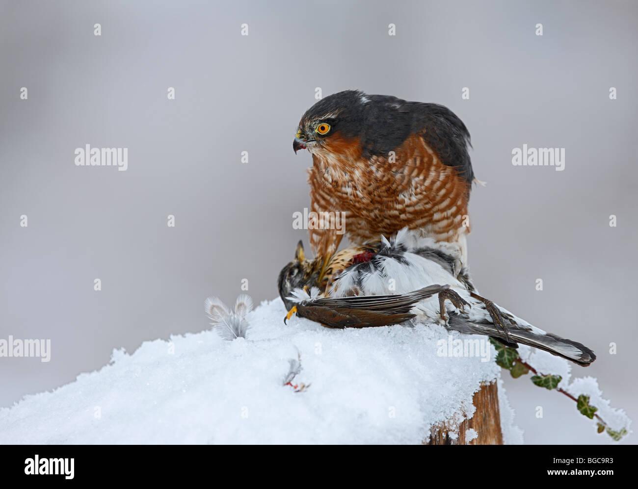 Sparrowhawk Accipiter Nisus auf Tötung im Schnee Stockfoto