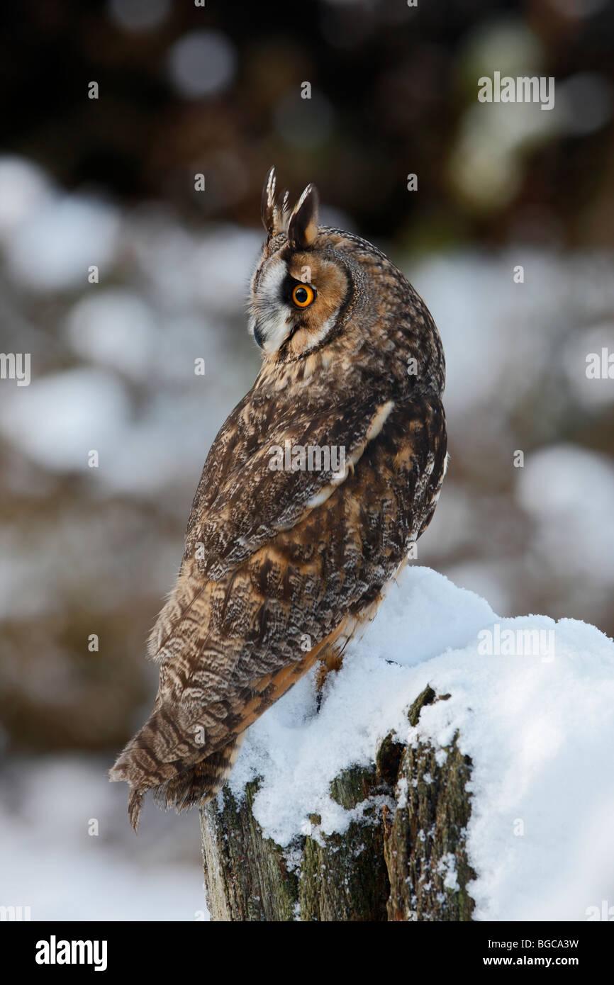 Waldohreule Asio Otus verschneiten log Stockfoto