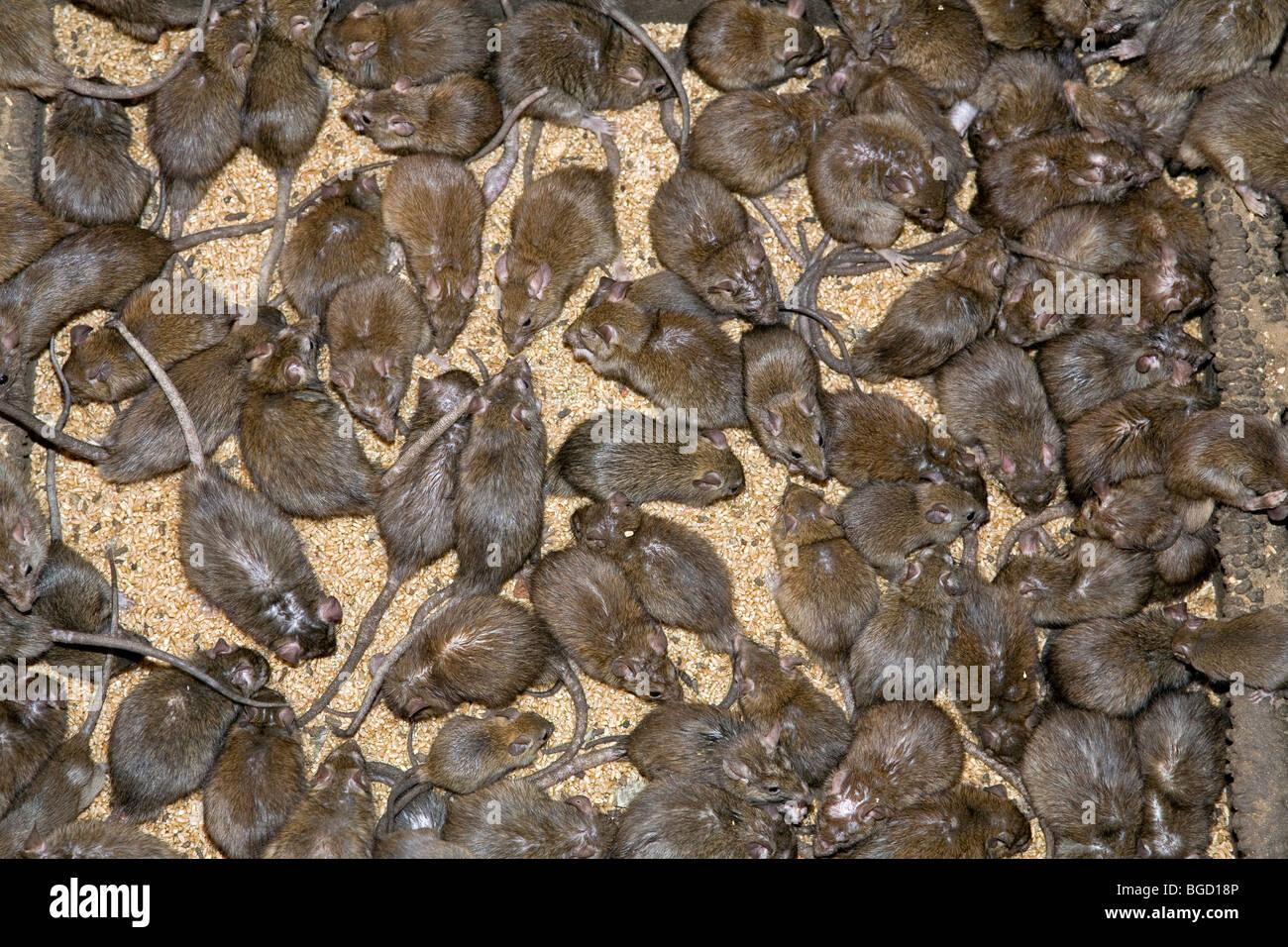 Ratten. Karni Mata Tempel. Deshnok. In der Nähe von Bikaner. Rajasthan. Indien Stockbild