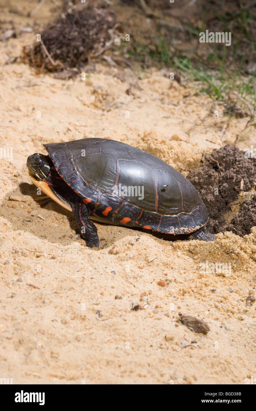 Gemalte Schildkröte (Chrysemys Picta). Weibliche Graben Nest Loch Im Boden.