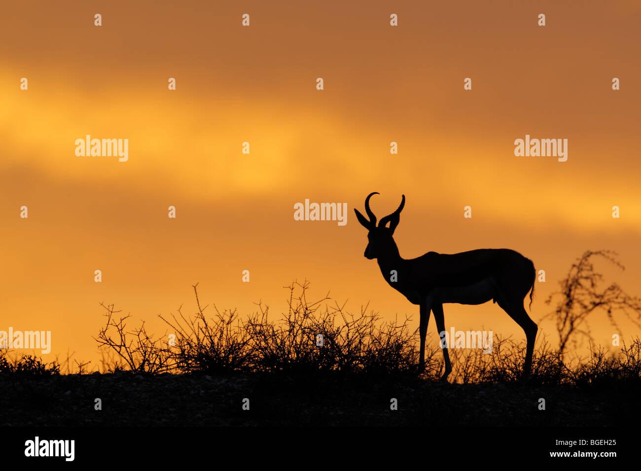 Springbock Antilope (Antidorcas Marsupialis) gegen ein roter Himmel, Kgalagadi Transfrontier Park, Südafrika Stockbild