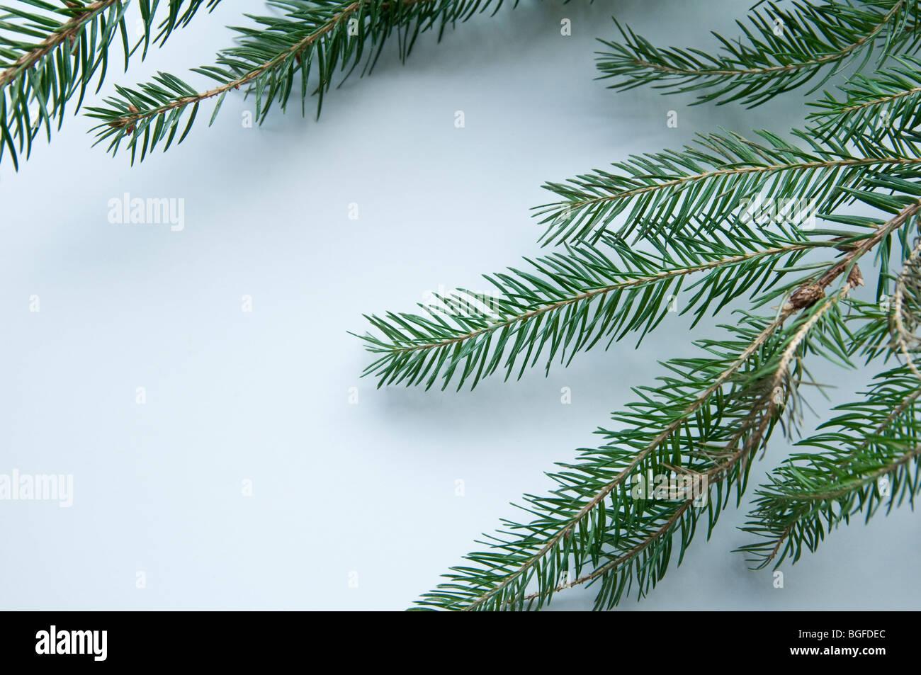 Ein Zweig eines Weihnachtsbaumes auf weißem Hintergrund Stockbild