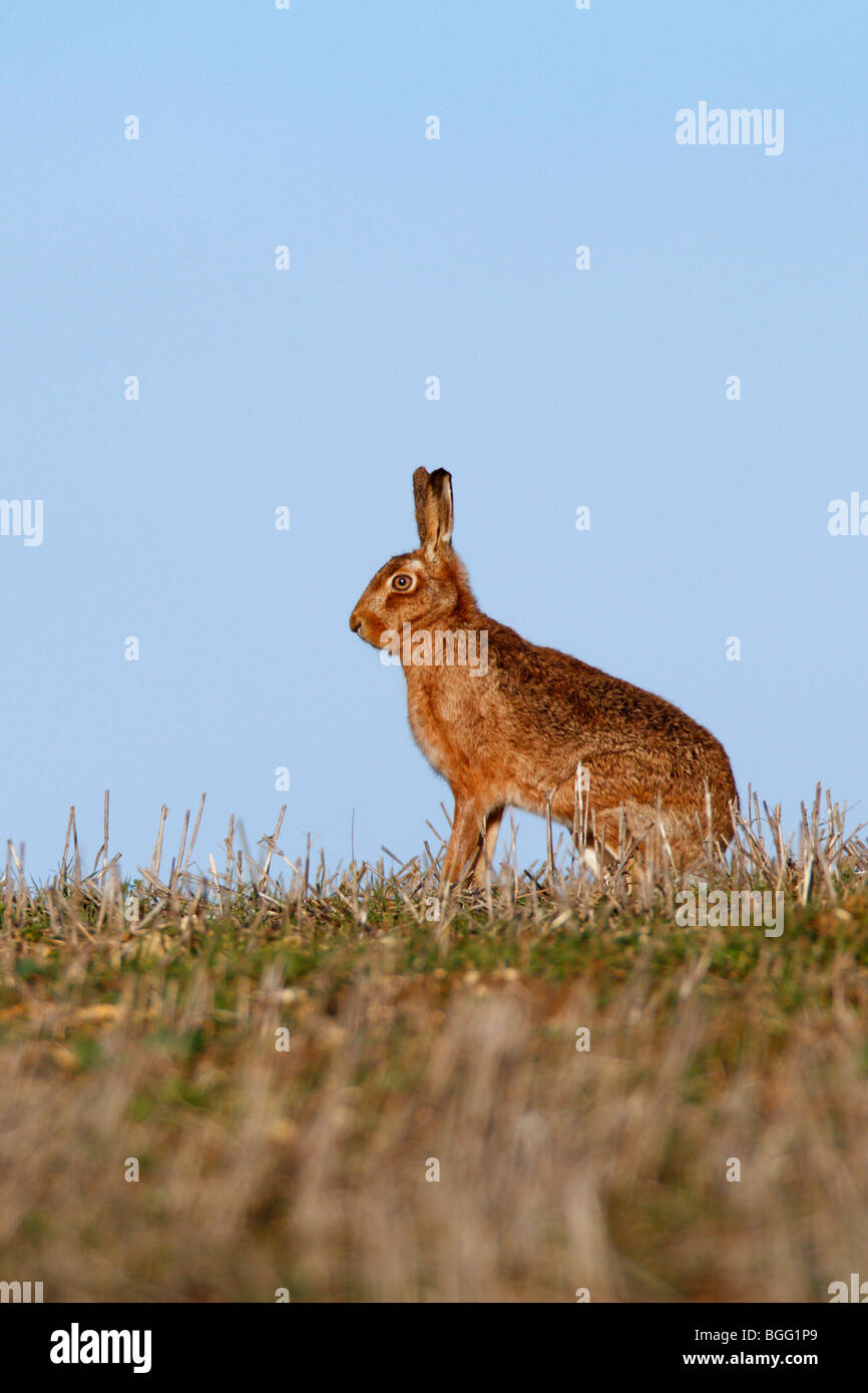 Brauner Hase Lepus Capensis sitzen alert blauer Himmel Ohren Stockbild
