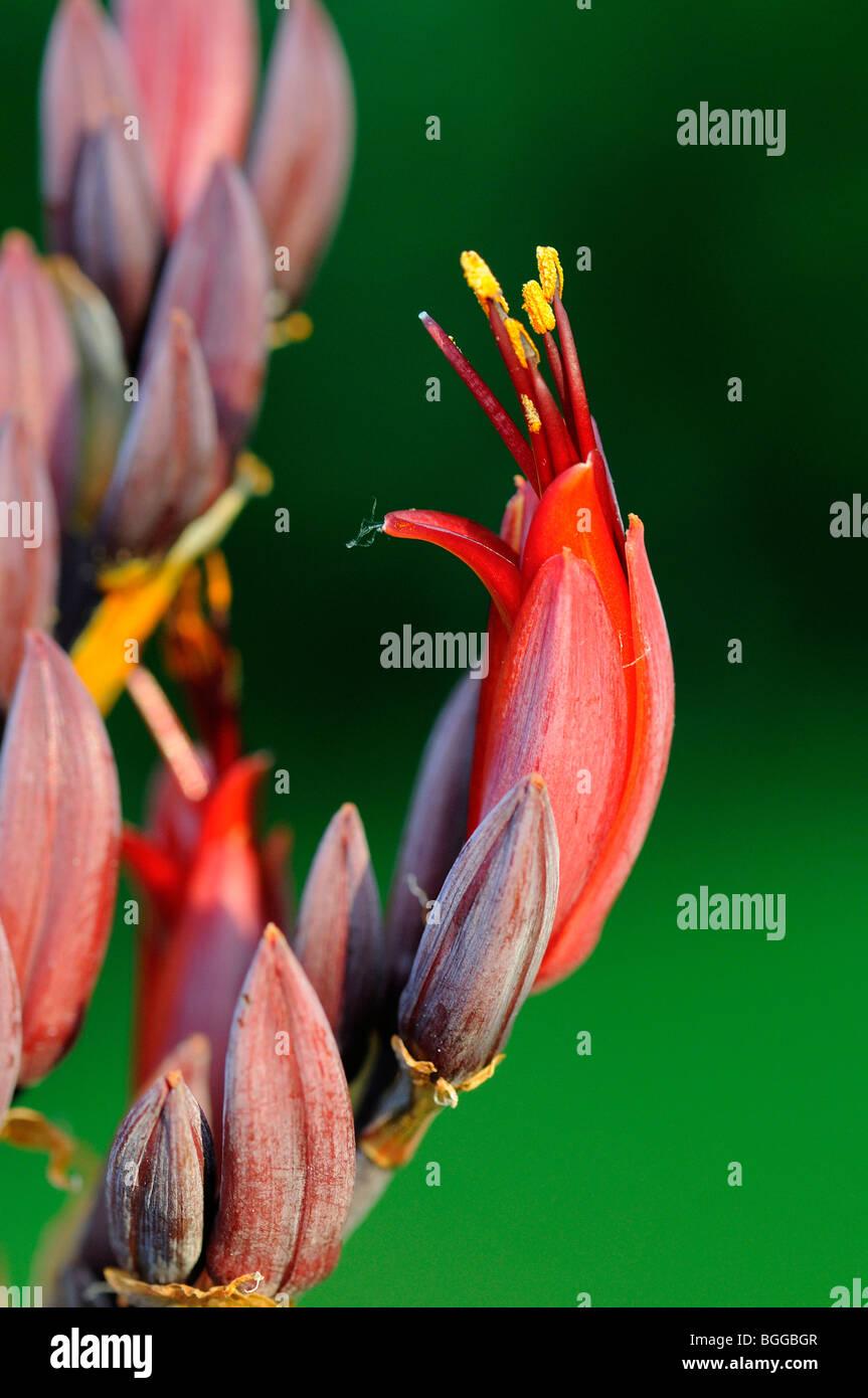 Phormium (Phormium Tenax) Nahaufnahmen von Blumen auf Blütenstand wächst im Garten, Oxfordshire, Vereinigtes Königreich. Stockfoto
