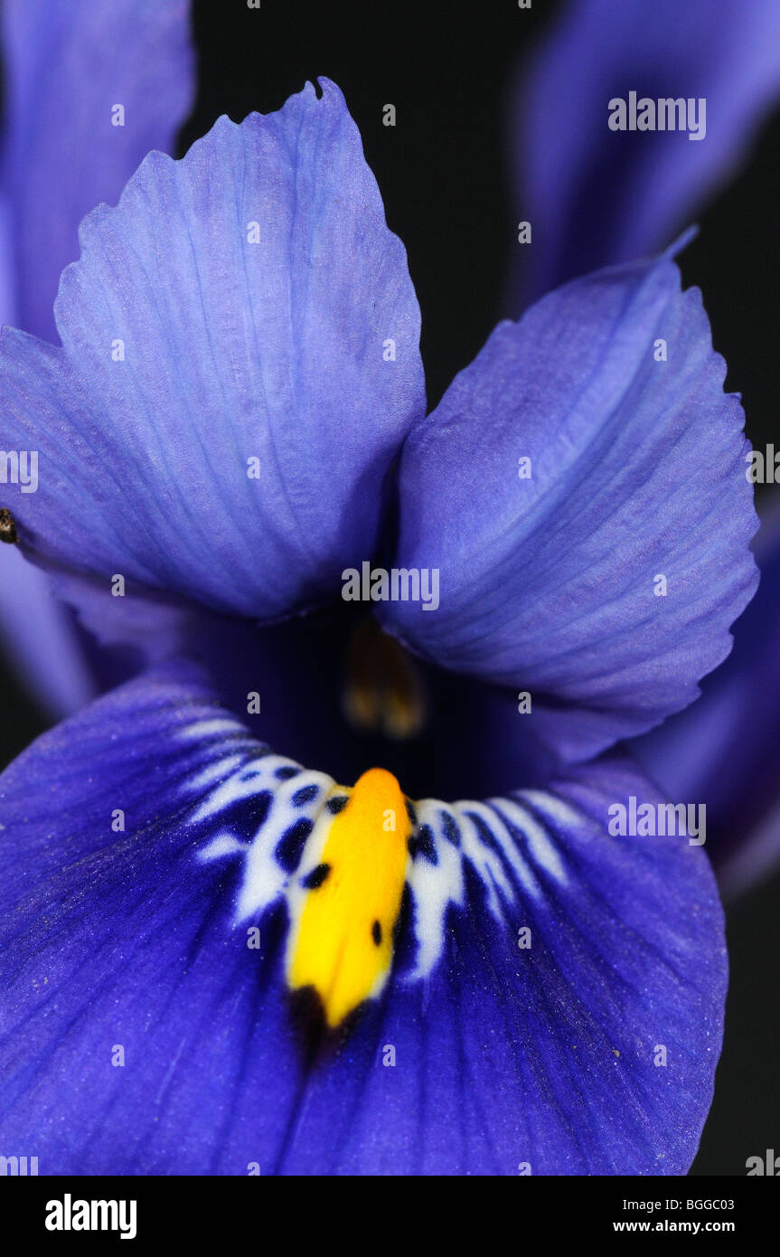 Iris Blume (Iris SP.) Nahaufnahme der blauen Blume, Oxfordshire, Vereinigtes Königreich Stockfoto