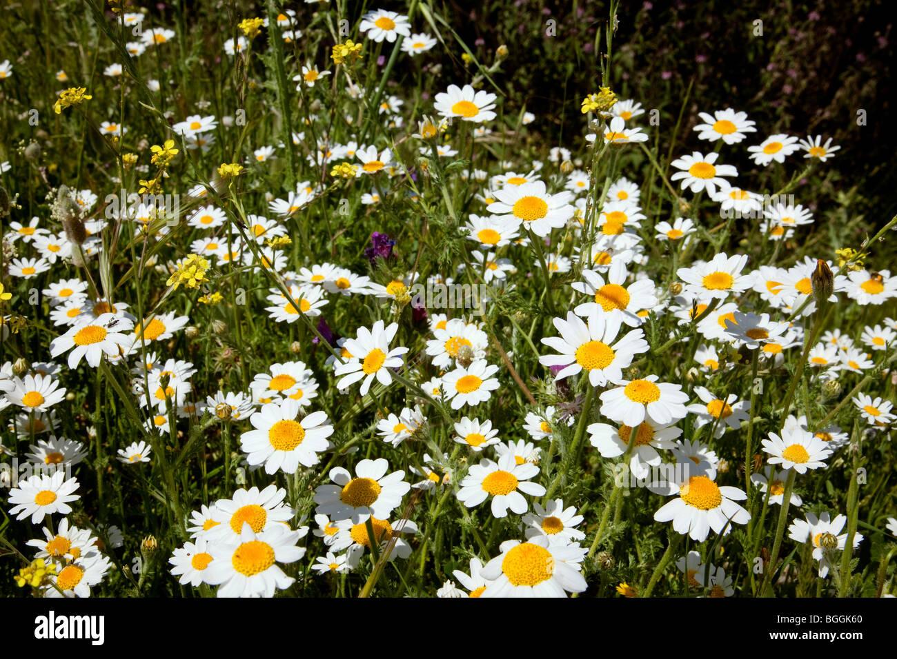 Margaritas Silvestres Wilden Gänseblümchen Stockfoto Bild 27411160