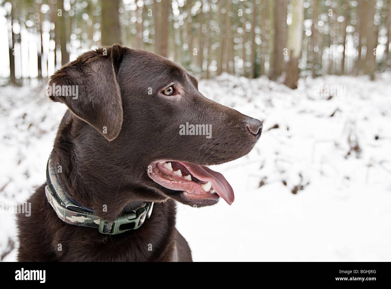 Profil-Schuss ein schöner Chocolate Labrador in die verschneite Landschaft Stockbild