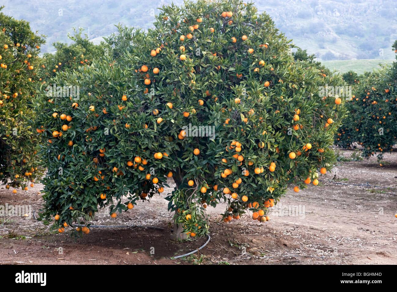 orangenbaum valencia fr chte tr gt stockfoto bild. Black Bedroom Furniture Sets. Home Design Ideas