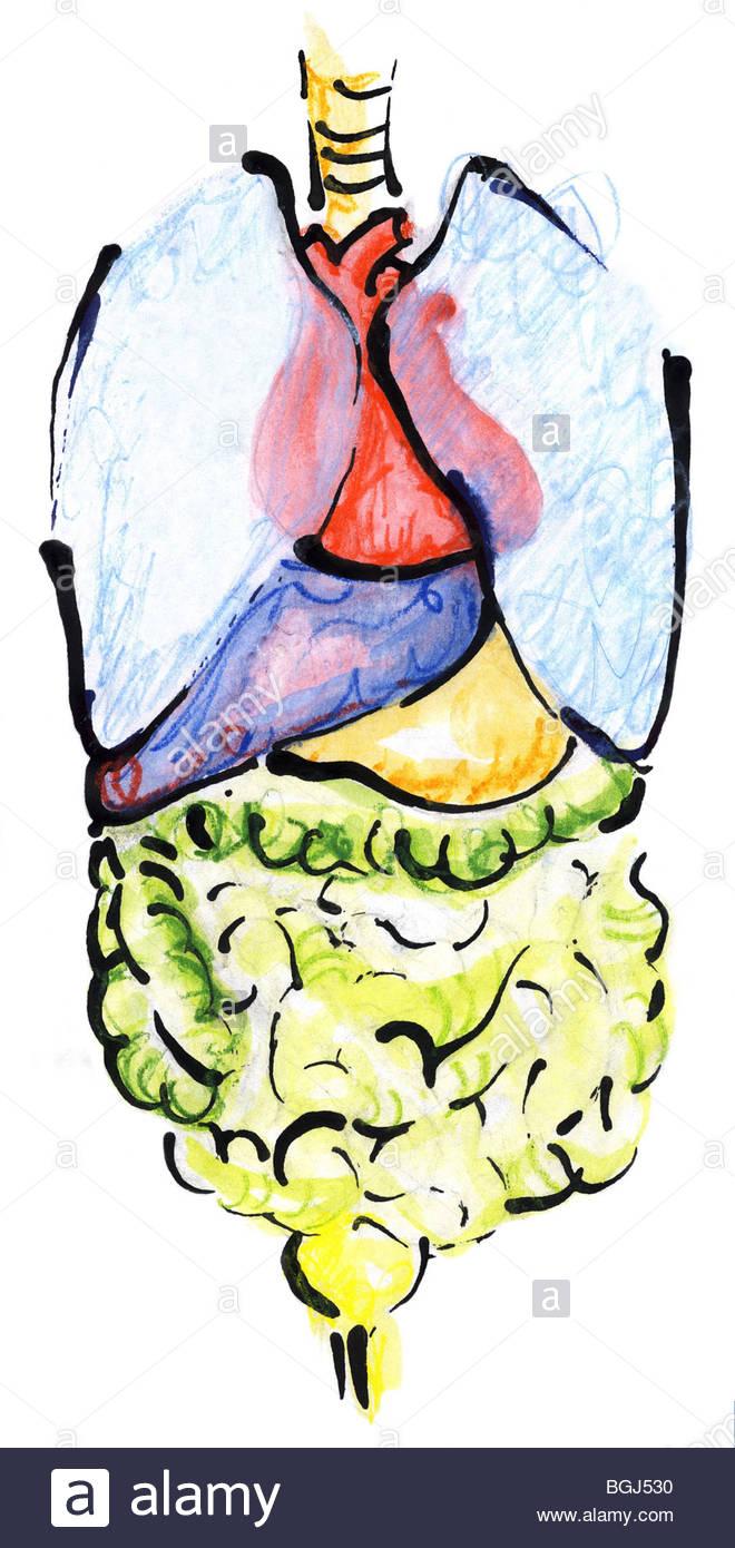 inneren Organe (Zeichnung Stockfoto, Bild: 27444004 - Alamy