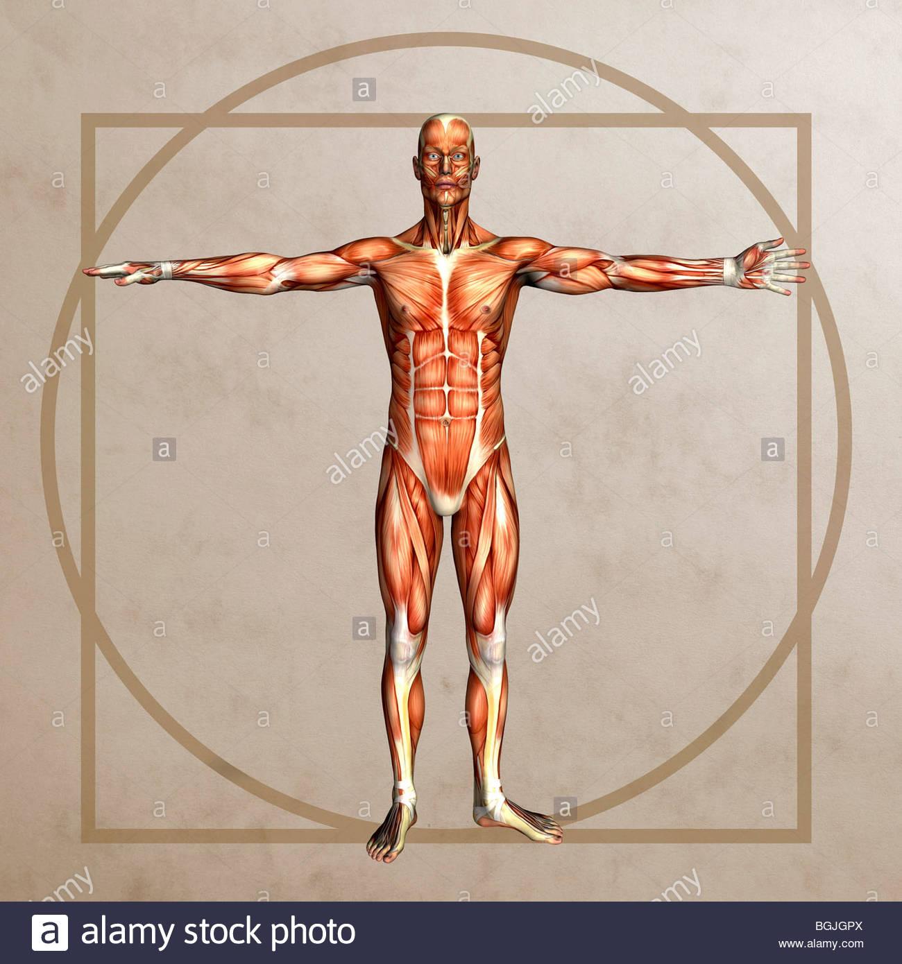 Anatomie-Grafik im Stil der vitruvianische Mensch von Leonardo da ...