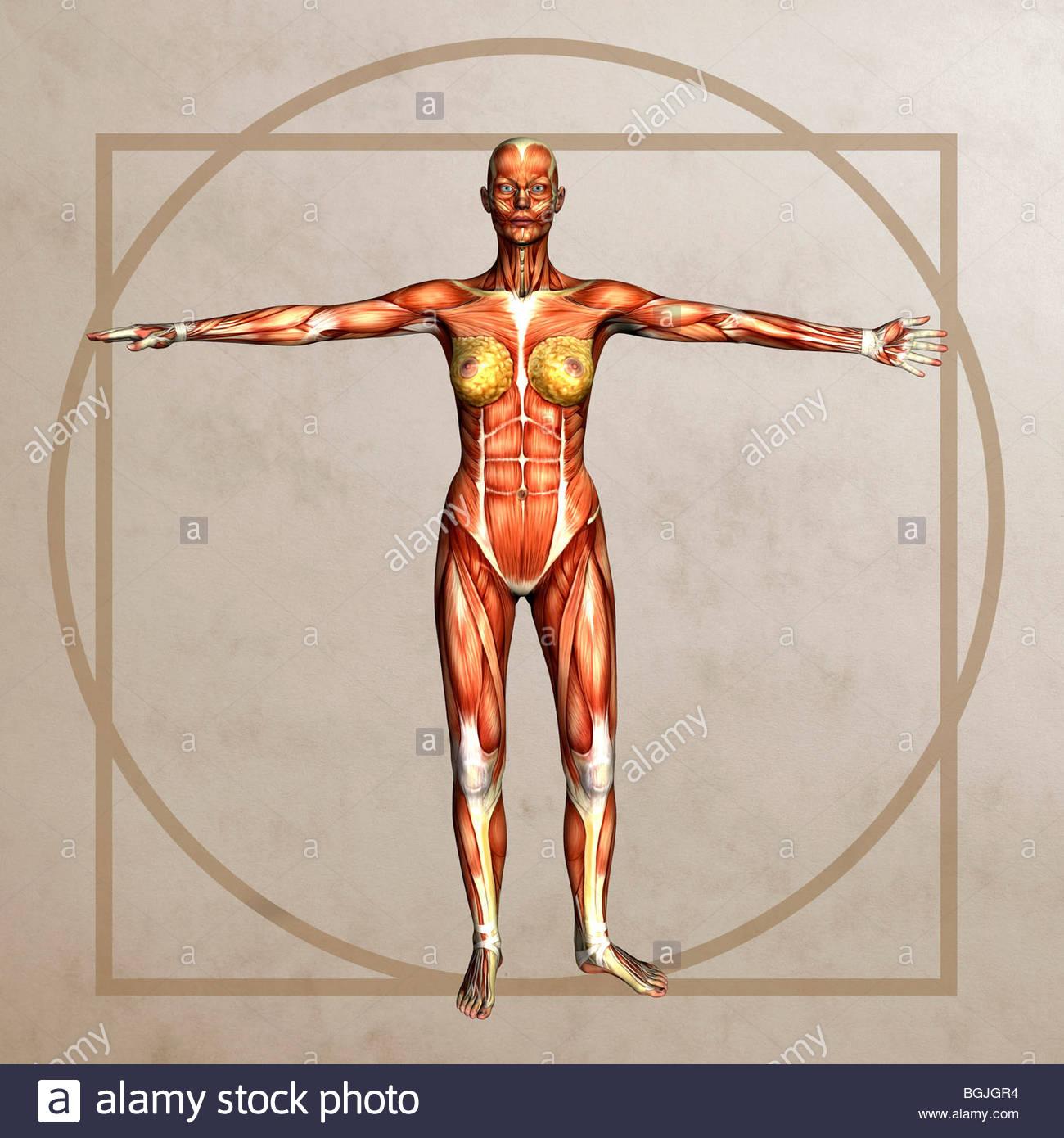 Anatomie-Grafik einer Frau im Stil der vitruvianische Mensch von ...