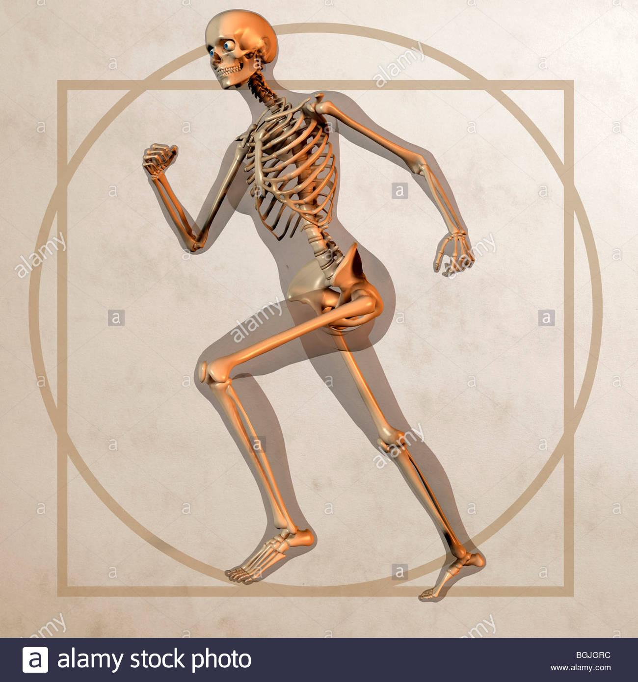 Anatomie-Grafik - männliche Anatomie Modell mit transparenten Hülle ...