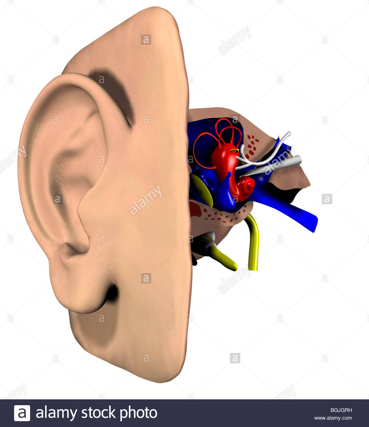 Illustration - Anatomie des Ohres Stockfoto, Bild: 27453205 - Alamy