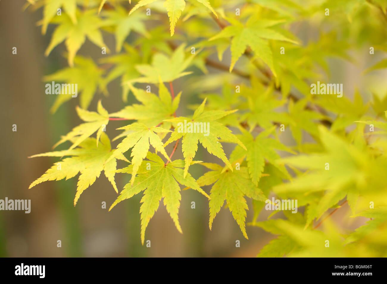 Gelber japanischer Ahorn-Blätter Stockbild