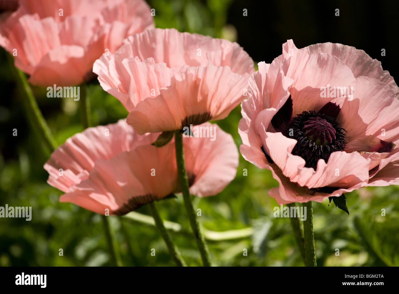 rosa mohn in bl te papaver orientale 39 cedric morris 39 stockfoto bild 27486154 alamy. Black Bedroom Furniture Sets. Home Design Ideas