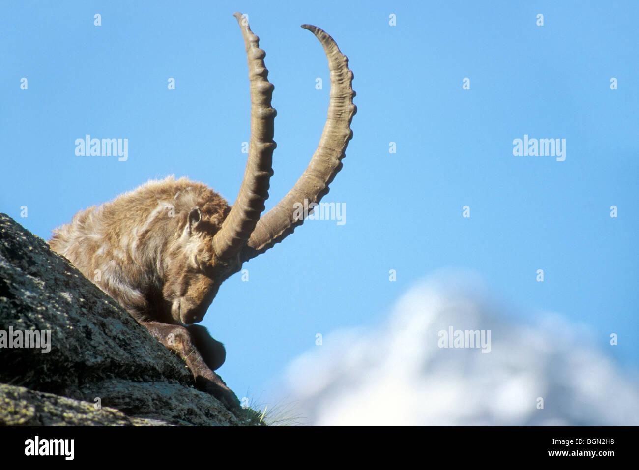 mann steinbock