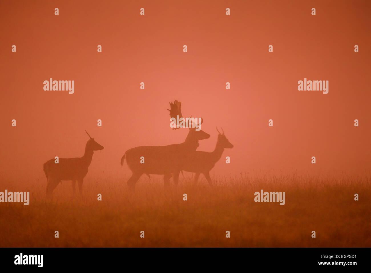 Damhirsch (Dama Dama) Hirsch Silhouetten im Nebel bei Sonnenuntergang in der Brunftzeit im Herbst Stockbild