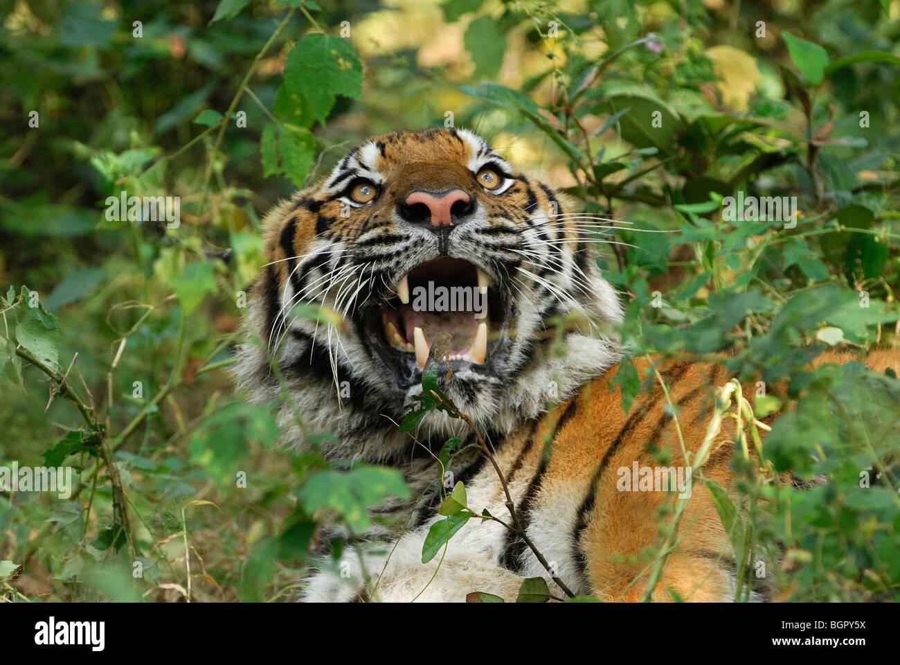 Tiger (Panthera Tigris), Erwachsene, Knurren, Thailand Stockbild