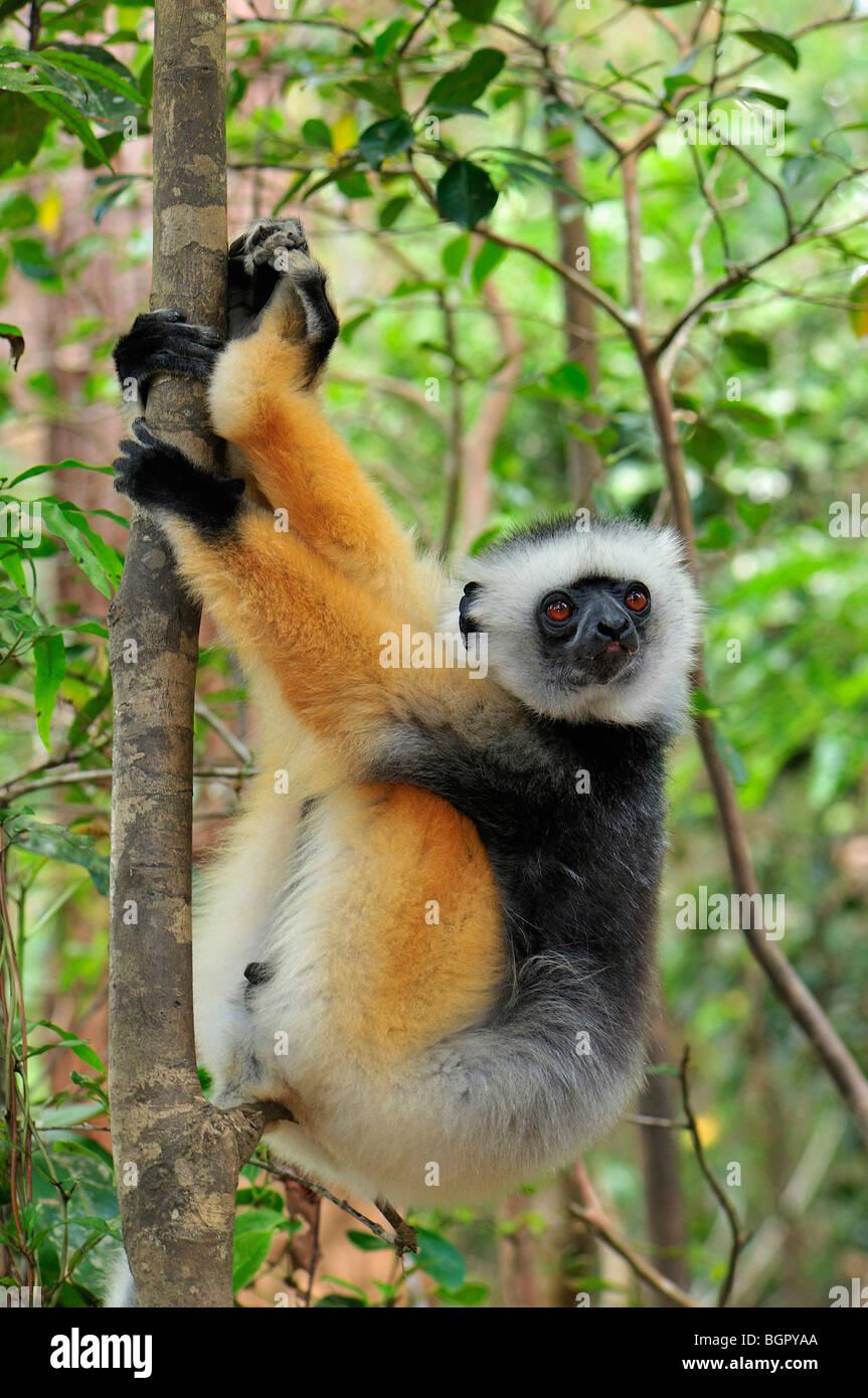 Matrizengeformte Sifaka (Propithecus Diadema), Erwachsene, Andasibe-Mantadia Nationalpark, Madagaskar Stockbild