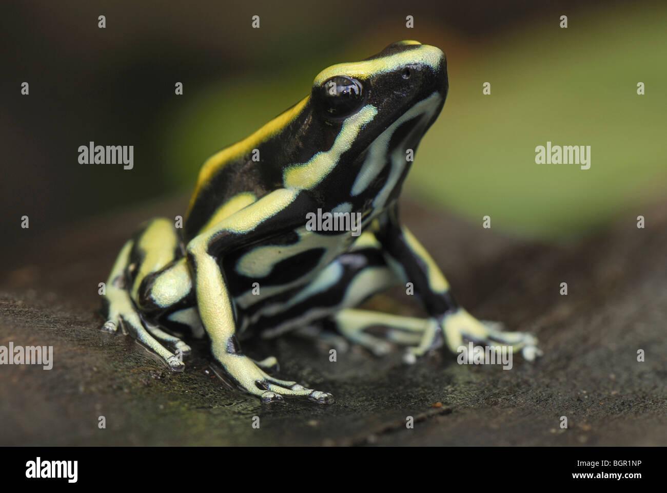 Färben von Poison Frog (Dendrobates Tinctorius), Erwachsene, Cauca, Kolumbien Stockbild